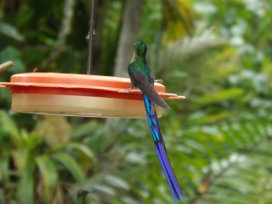 A Violet-tailed Sylph hummingbird.  Photo recently taken near Mindo, Ecuador.  One of God's amazing creations!